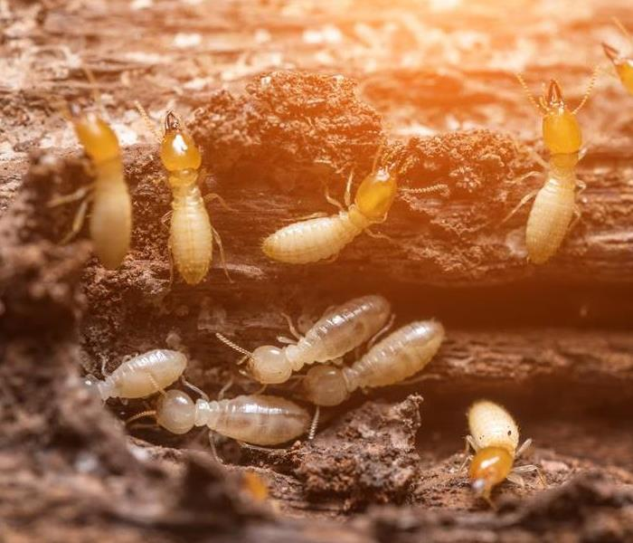a swarm of termites infesting wood